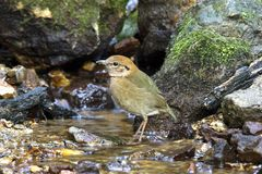 Rusty-naped Pitta :pitta  oatesi. Rusty naped pitta bird feeding is low near the ground. Eating worms and insects as food (Mae Wong National Park, Thailand Stock Photography