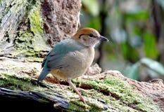 Rusty naped Pitta Pitta oatesi. Birds of Thailand Royalty Free Stock Photography