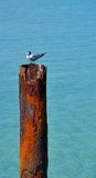 Rusty Ocean Piling with Crested Tern Stock Photography