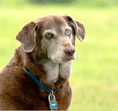 Rusty. Older dog with a blue eye and and brown eye Royalty Free Stock Image