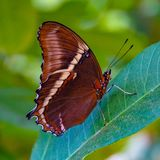 Rusty or orange tipped Page butterfly. With folded wings from the Butterfly wonderland Scottsdale arizona. Standing on a green leaf royalty free stock photography