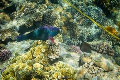 Rusty Parrotfish Stock Photography