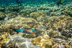 Rusty Parrotfish Royalty Free Stock Photo
