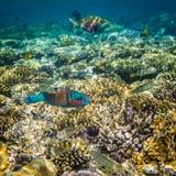 Rusty Parrotfish Royalty Free Stock Photos