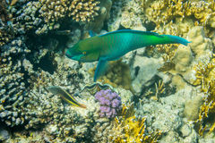 Rusty Parrotfish Royalty Free Stock Images