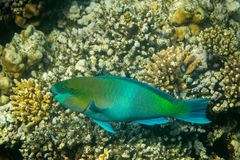 Rusty Parrotfish Stock Images