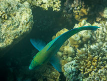 Rusty Parrotfish Royalty Free Stock Image
