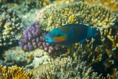 Rusty Parrotfish Stock Photos