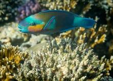 Rusty Parrotfish Royalty Free Stock Photography