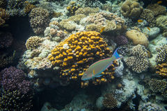 Rusty Parrotfish Stock Image