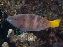 Rusty parrotfish Stock Photos