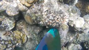 Rusty parrotfish (Scarus ferrugineus). stock video footage