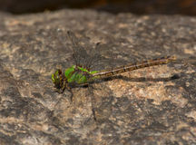 Rusty Snaketail Stock Fotografie