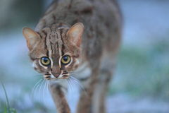 Rusty-spotted cat Royalty Free Stock Photo