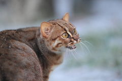 Rusty-spotted cat Royalty Free Stock Photography