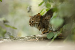 Rusty-spotted cat, Prionailurus rubiginosus phillipsi Stock Photography