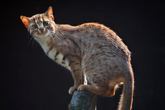 Rusty-spotted cat (Prionailurus rubiginosus phillipsi). Royalty Free Stock Image