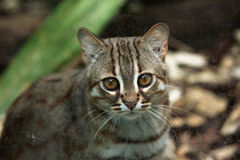 Rusty-spotted cat (Prionailurus rubiginosus). Royalty Free Stock Image