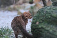 Rusty-spotted cat Stock Photos