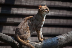 Rusty-spotted cat (Prionailurus rubiginosus phillipsi). Stock Photos