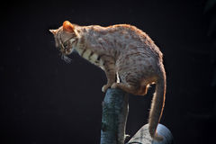Rusty-spotted cat (Prionailurus rubiginosus phillipsi). Stock Images