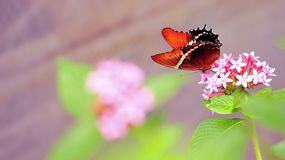 Rusty-tipped Page butterfly feeding on flowers Royalty Free Stock Photography