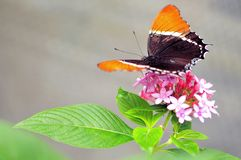 Rusty-tipped Page butterfly on flowers in aviary Stock Image