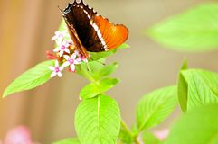 Rusty-tipped Page butterfly on flowers Royalty Free Stock Photography