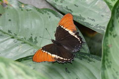 Rusty Tipped Page butterfly Royalty Free Stock Photography