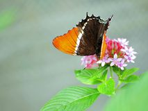 Rusty-tipped Page butterfly on pink flowers Royalty Free Stock Photography