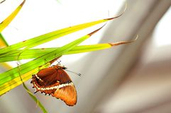 Rusty-tipped Page butterfly on plant in aviary Stock Photos