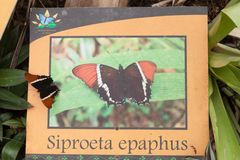 Rusty-tipped Page butterfly stock photography