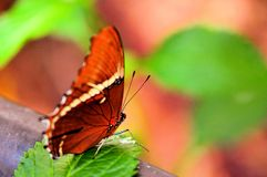 Rusty-tipped Page butterfly (underside) Royalty Free Stock Image