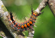 Rusty tussock moth Royalty Free Stock Photography