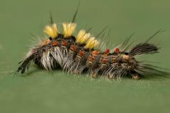 Rusty Tussock Moth caterpillar Stock Image