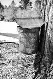 Rusty vintage maple syrup bucket on tree Royalty Free Stock Images