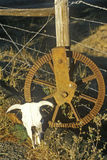 Rusty wheel by barbed wire fence with cow skull in foreground, New England Stock Photography