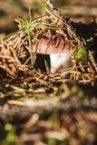 Rusulla-Pilz, der beginnt zu wachsen Lizenzfreies Stockfoto