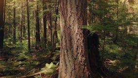 Ruszać się w dół drzewa przy zmierzchem zbiory wideo