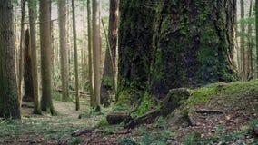 Ruszać się Za Drzewnymi bagażnikami W wieczór lesie zdjęcie wideo