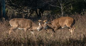 Two bucks fighting head to head. The rut is on as two large racked whitetail bucks battle it out royalty free stock images