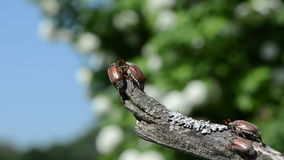 Rut beetles. Boarded an old branch of trying to fly crawls on top of each other stock footage