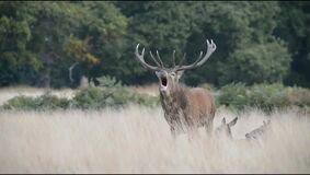 Red Deer, Deer, Cervus elaphus