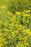 Ruta flowers Stock Photo
