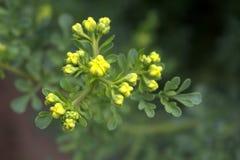 Ruta graveolens, algemeen bekend als, gemeenschappelijk die rue of kruid-van-gunst, is species van Ruta als sierplant wordt gekwe stock foto's