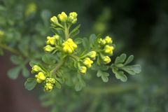 Ruta graveolens, commonly known as the, common rue or herb-of-grace, is a species of Ruta grown as an ornamental plant stock photos