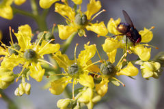 Ruta graveolens flowers with a fly Royalty Free Stock Photos