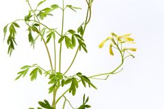 Ruta graveolens met gele bloemen stock afbeeldingen