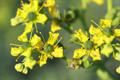 Ruta graveolens is a perennial herb Royalty Free Stock Photography