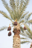 Rutab and tamr stages ripen dates on the tree Stock Image